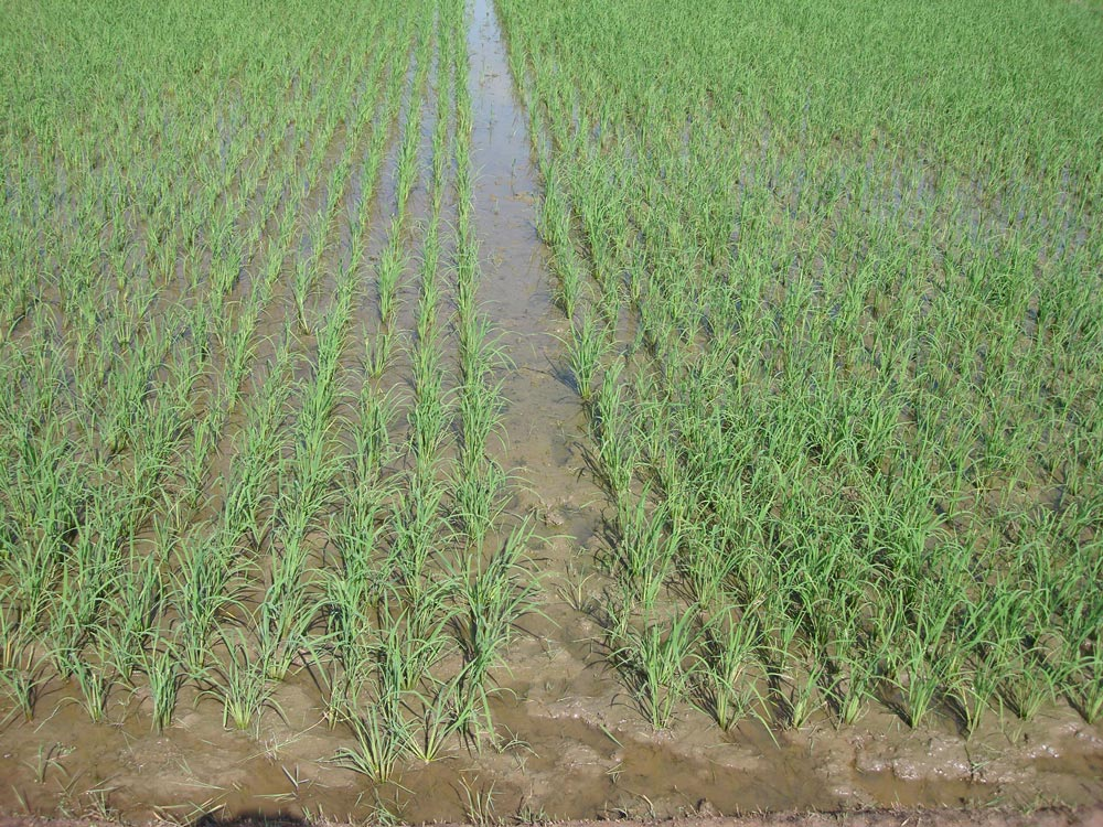 Seed-plot-with-allea-for-field-inspection,-Burkina-Faso
