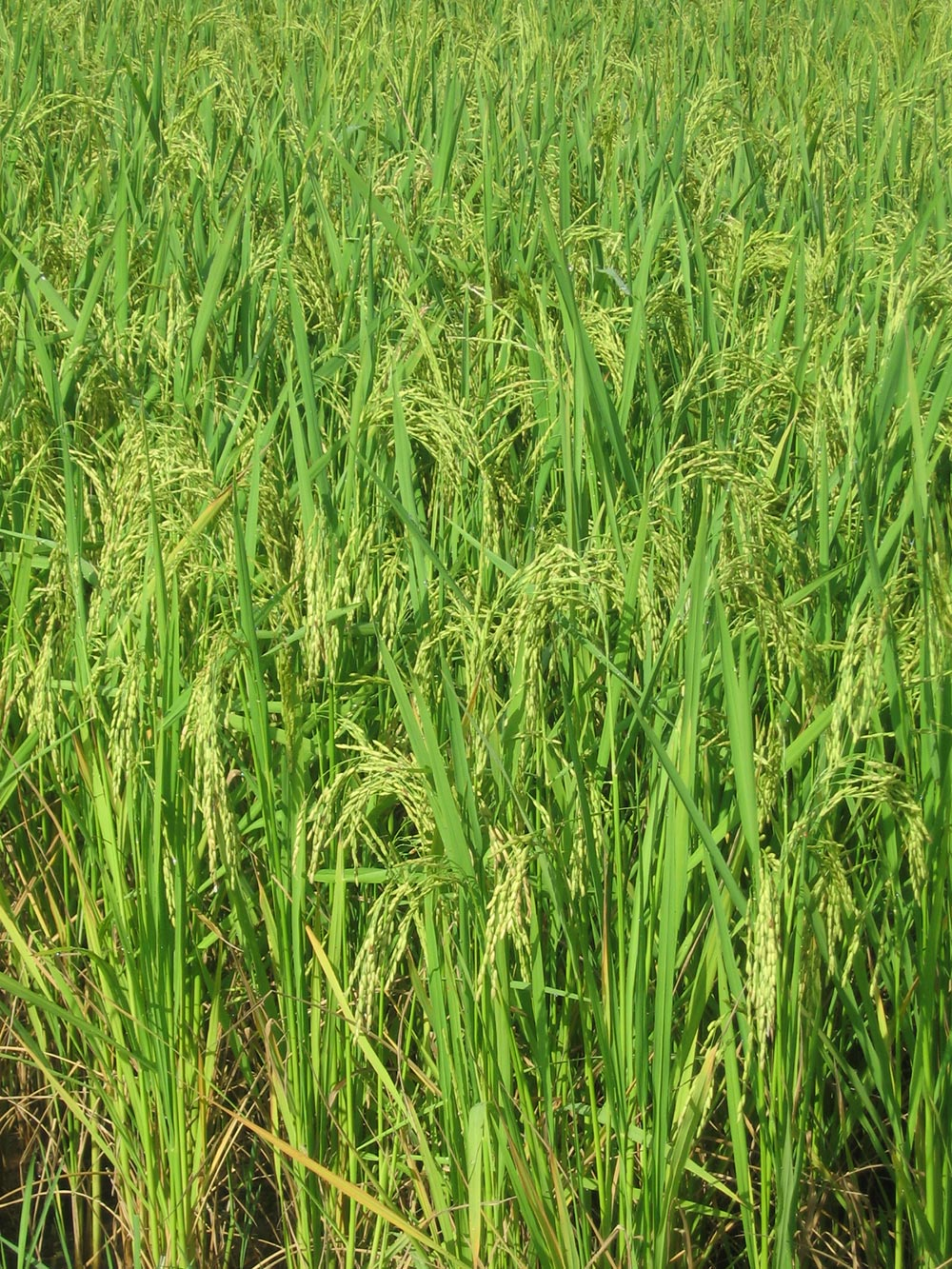 Rice-Photo-2
