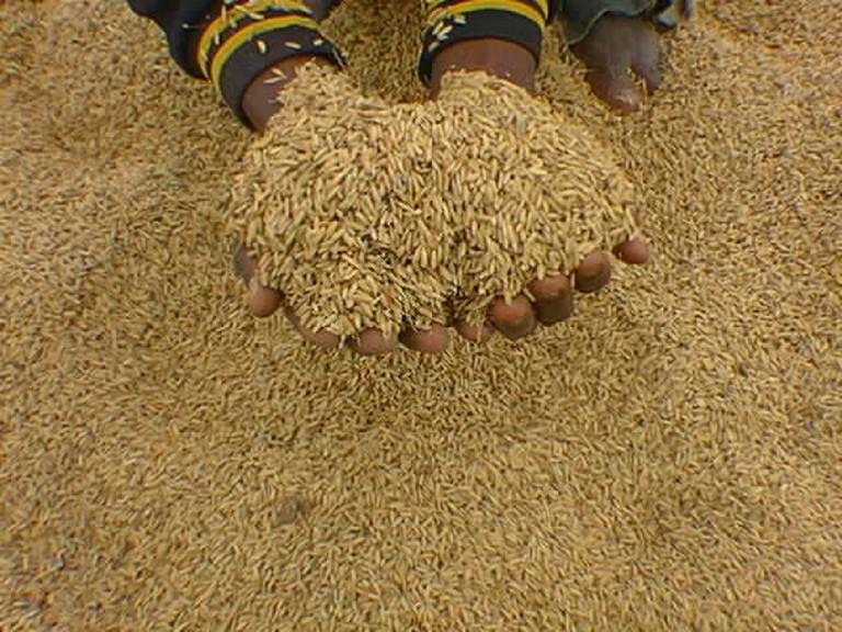La chaîne de valeur : Options stratégiques pour la relance de la filière semencière au Sénégal