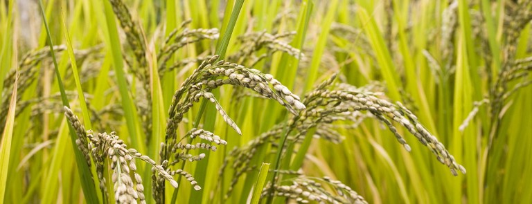 Cultivating knowledge on seed systems and seed strategies: Case of the rice crop