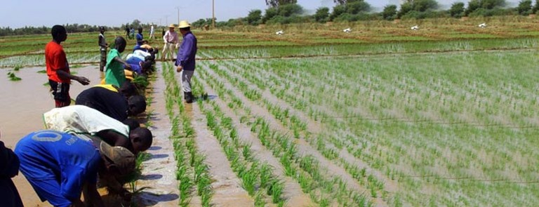 Development of an Integrated Rice Seed Sector in Sub-Saharan Africa: Meeting the Needs of Farmers