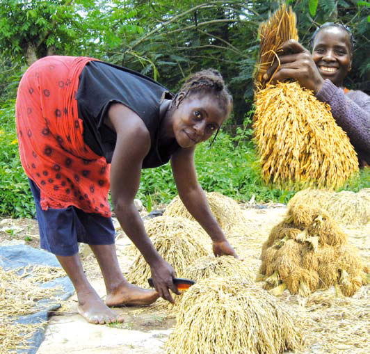 Community-Based Seed System. Rice Farmer's Guide: Improving seed quality